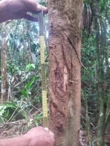 árbol marcado, señal de terrotorio de Oso Andino_ Parque ancional Guaramacal